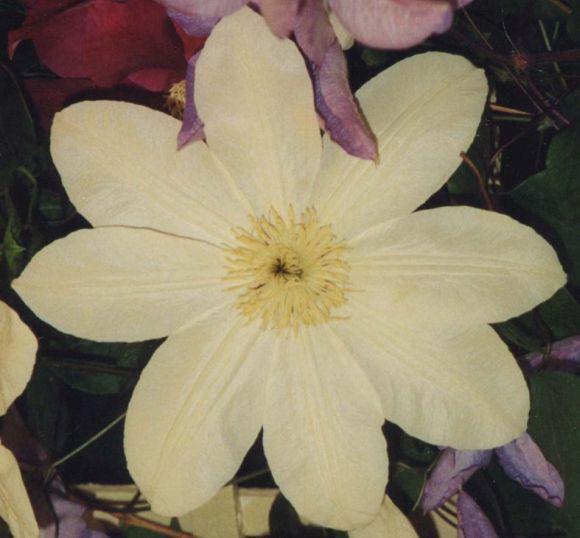 Clematis Wada's Primrose lemon centre old pic