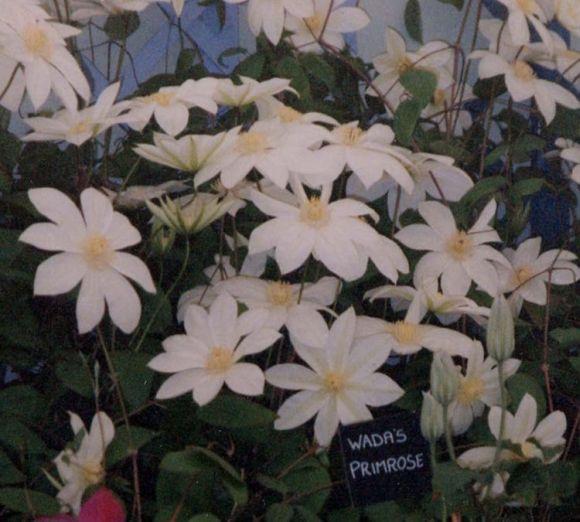 Clematis Wada's Primrose mass shot old pic