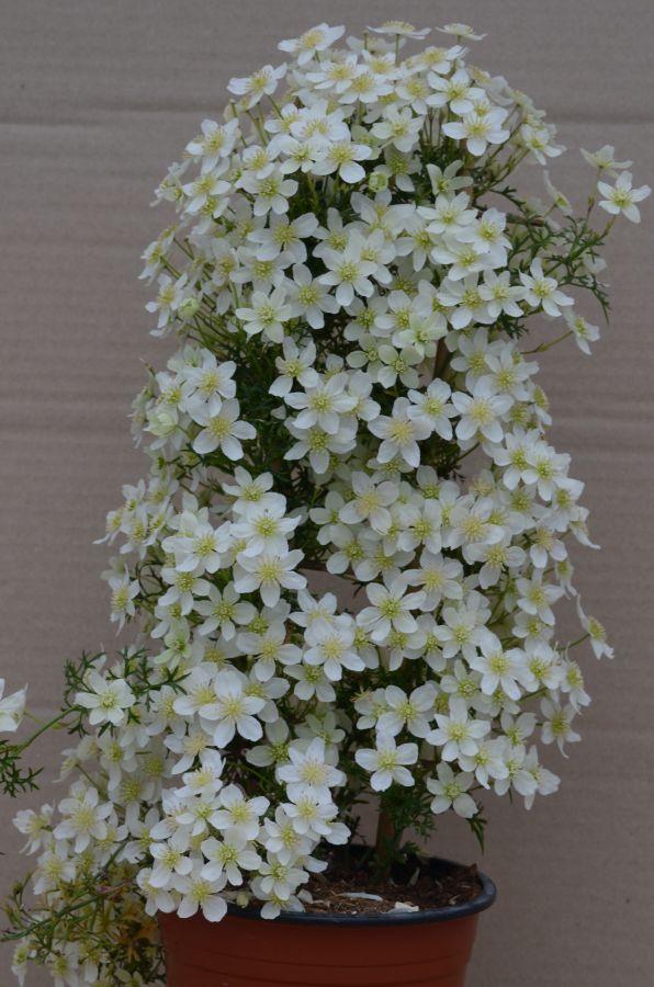 Clematis Xiu Evipo065 very free flowering