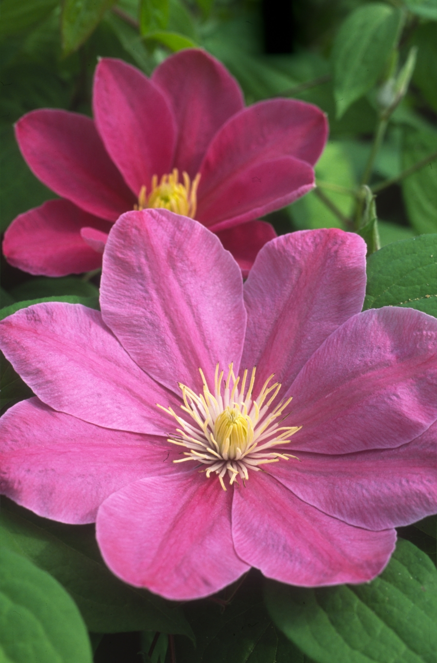 Clematis Abilene good flowerer