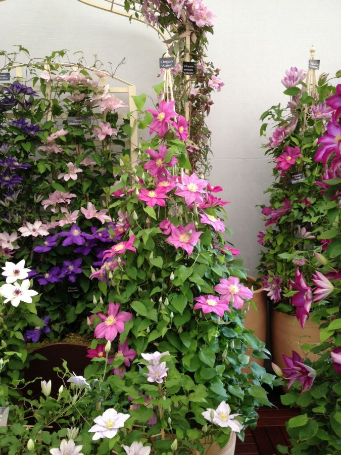 Clematis Alaina at Chelsea 2013