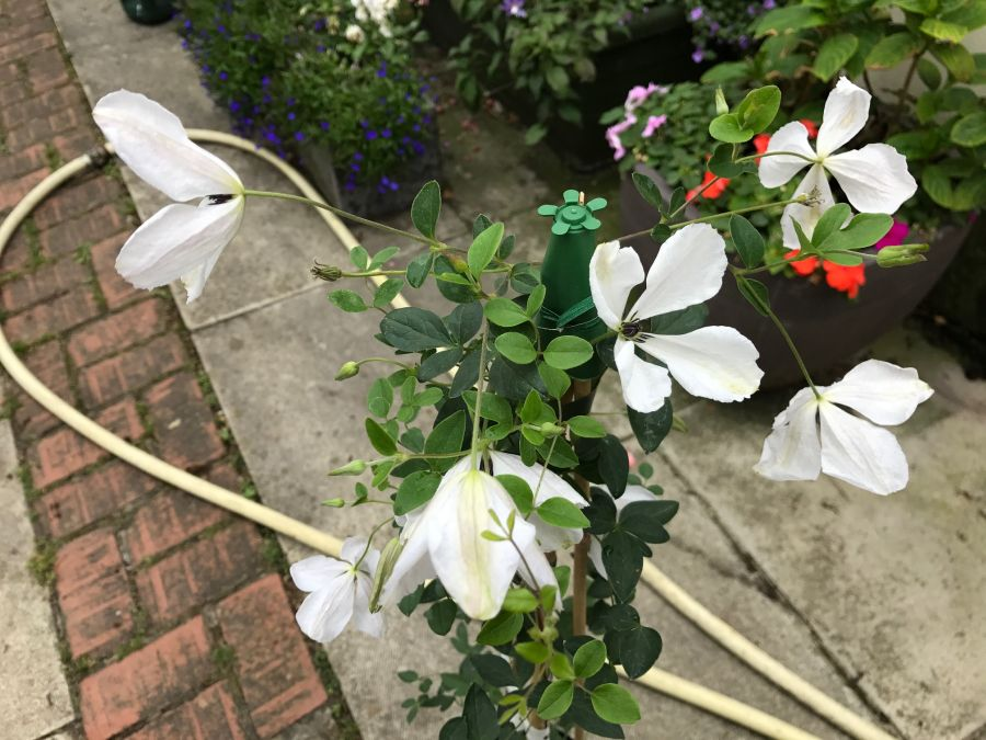 Clematis Alba Luxurians mass shot