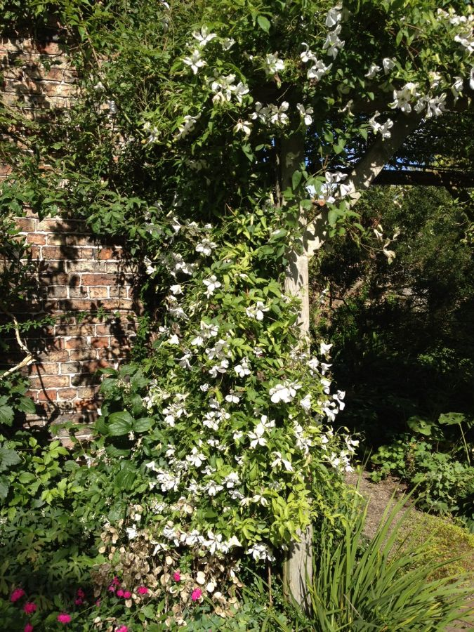 clematis alba luxurians mass coverage