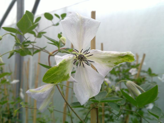 Clematis Alba Luxurians nice green edges
