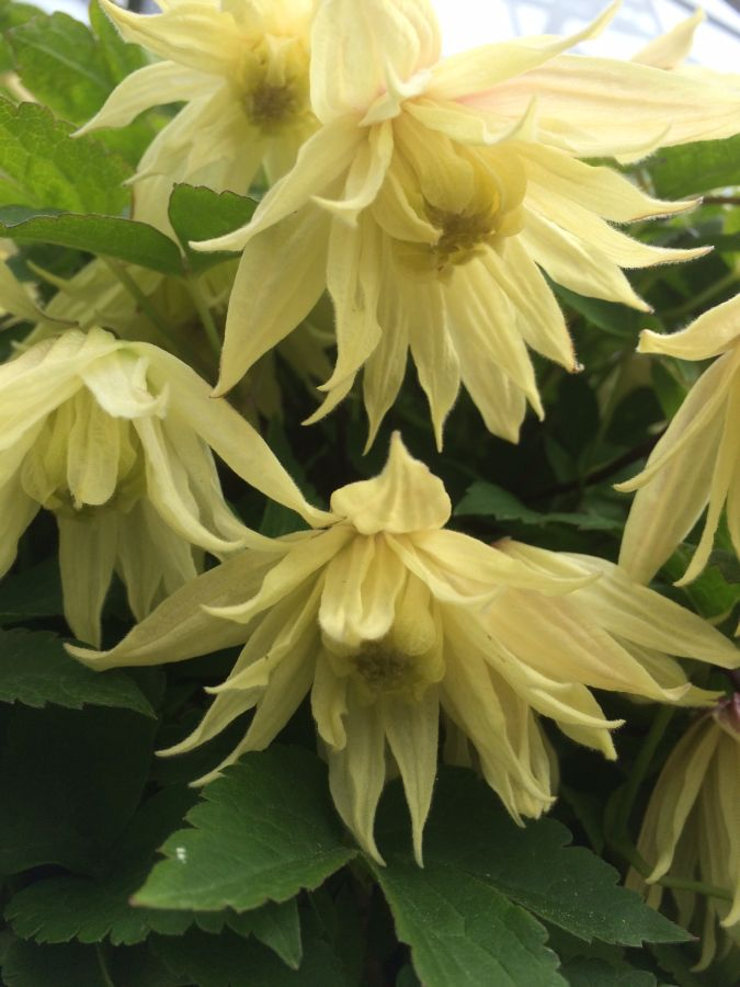 Clematis amber great sepals