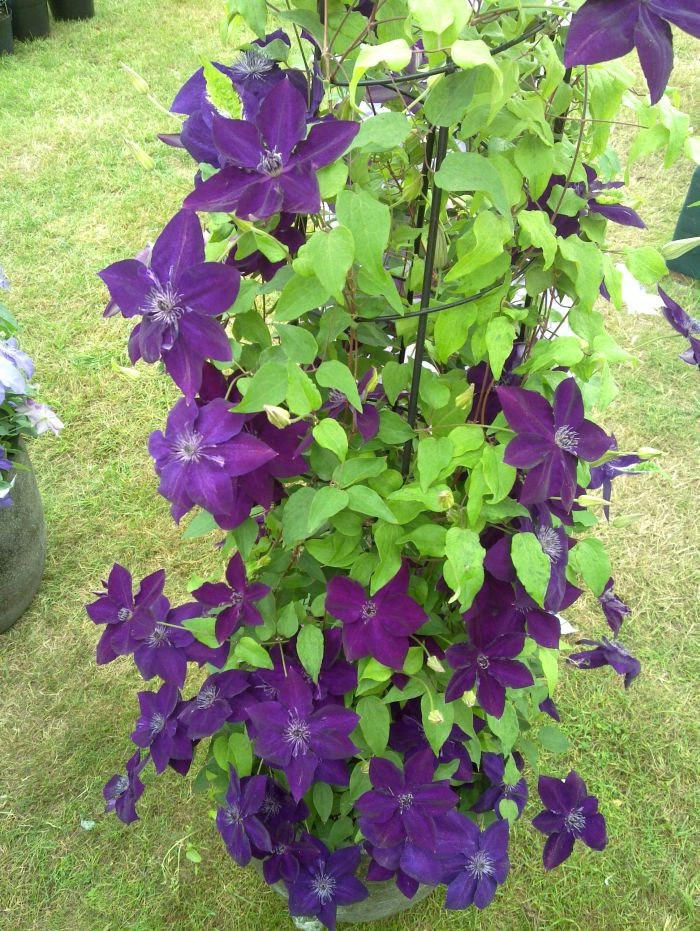 Clematis Amethyst Beauty with obelisk