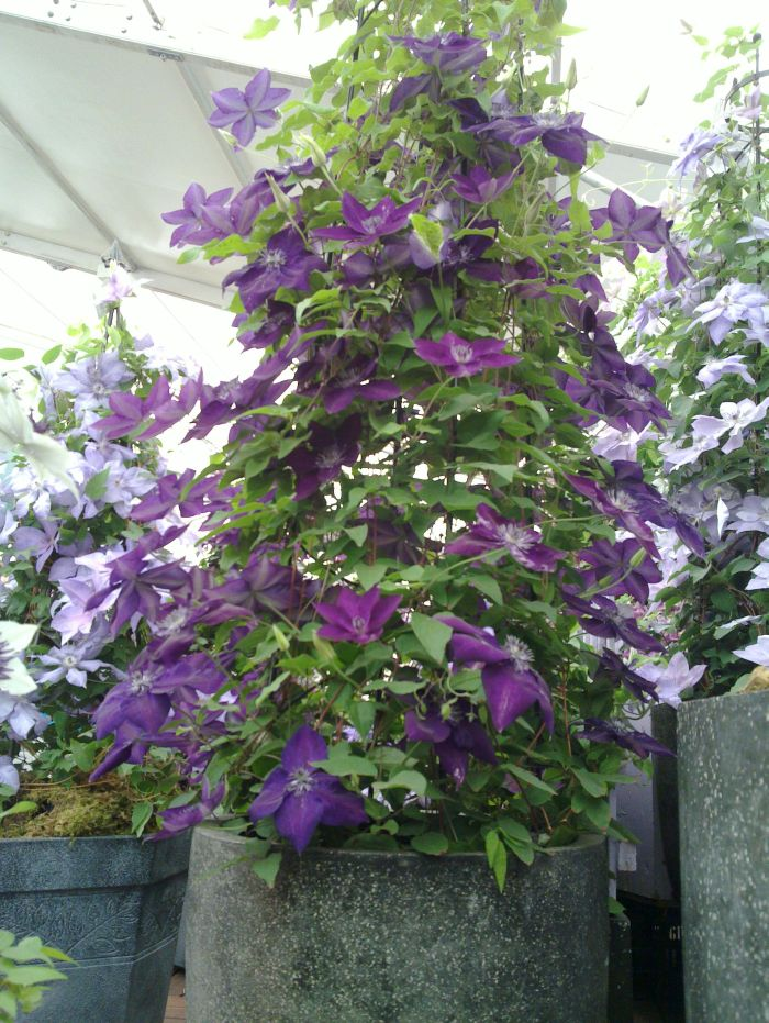 Clematis Amethyst Beauty nice pot