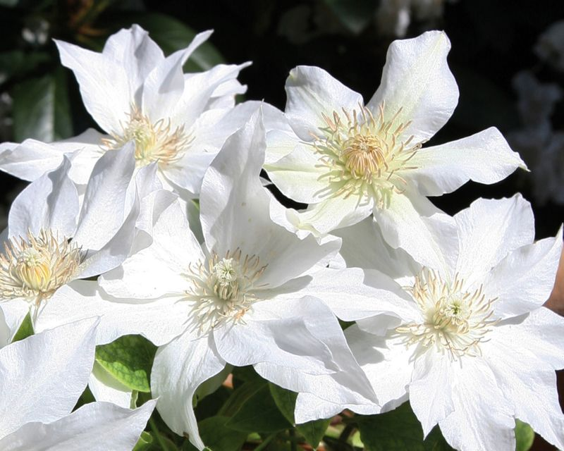 Clematis Aneta Masses of flowers