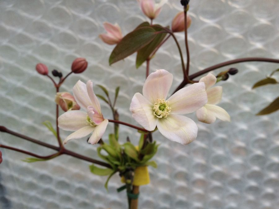 armandii appleblossom opening upright