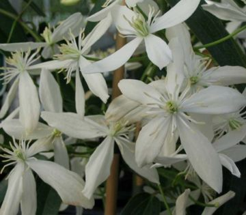 clematis armandii highly scented