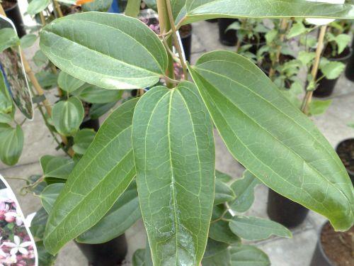 armandii appleblossom foliage