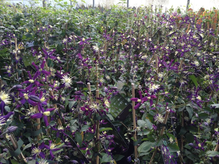 clematis x aromatica masses of flower