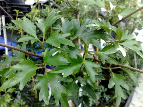 Clematis Avalanche foliage