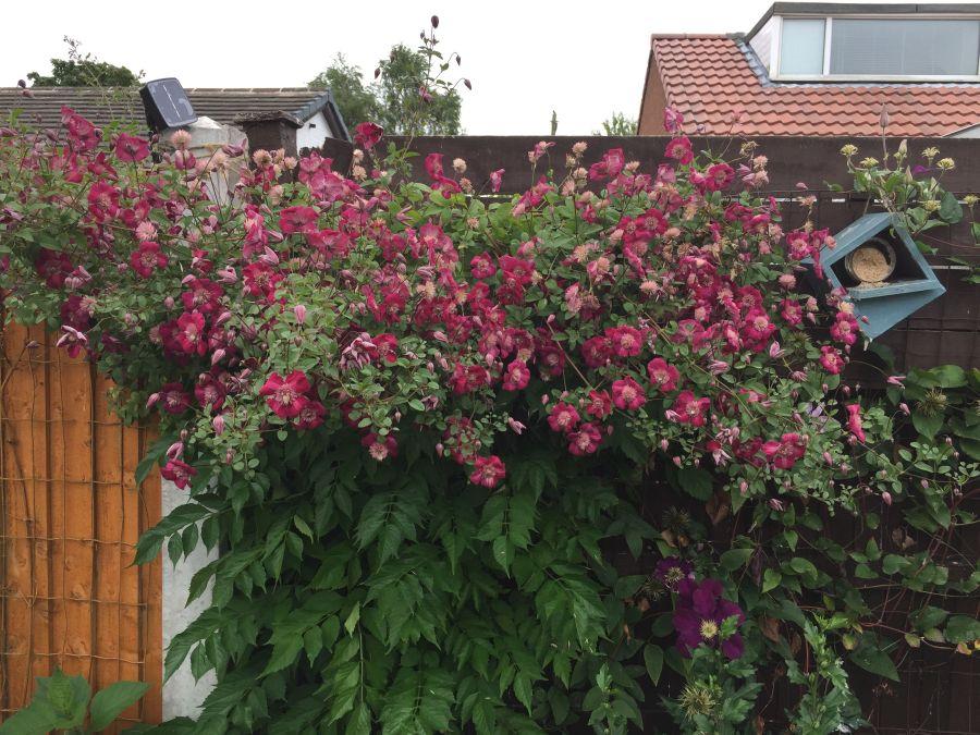 avant garde mature plant in customer brian penniall's garden 1