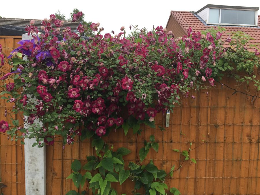 avant garde mature plant in customer brian penniall's garden 2