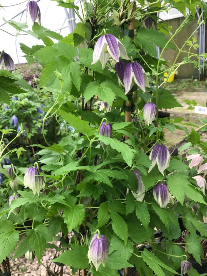 Clematis koreana blue eclipse mass pic