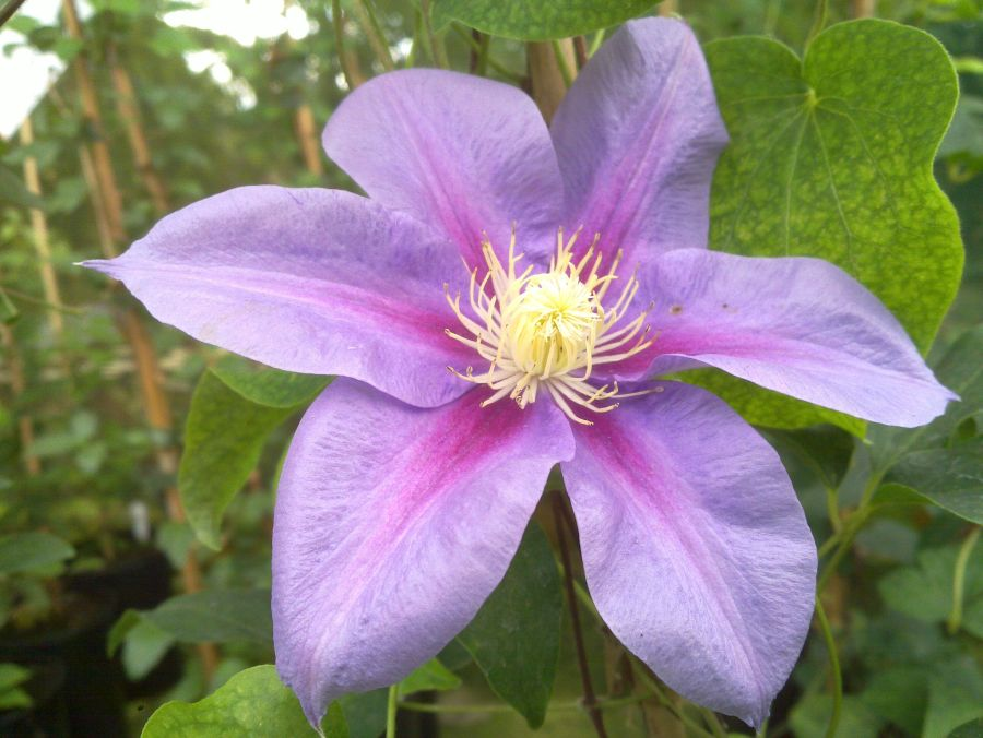 Clematis Barbara Jackman having seen alot of sun