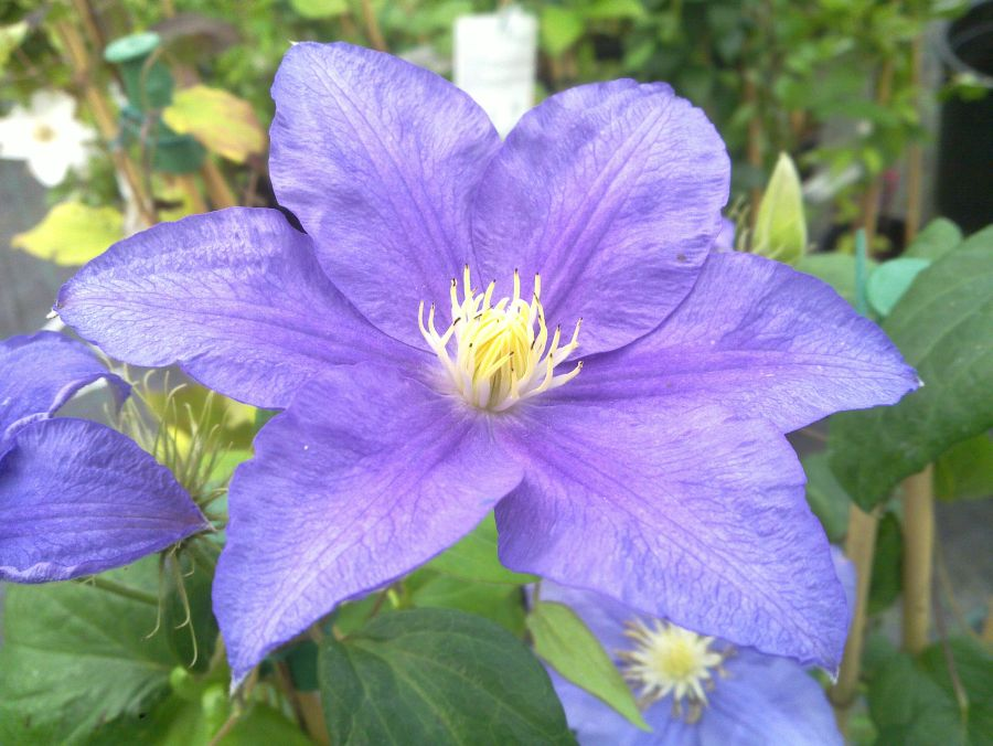 Clematis Beauty of Worcester singles in aug/sept