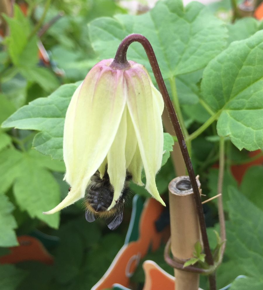 bees in clematis 1