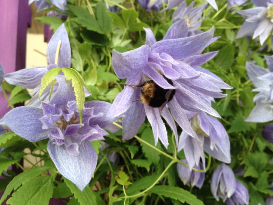 bees in clematis 4