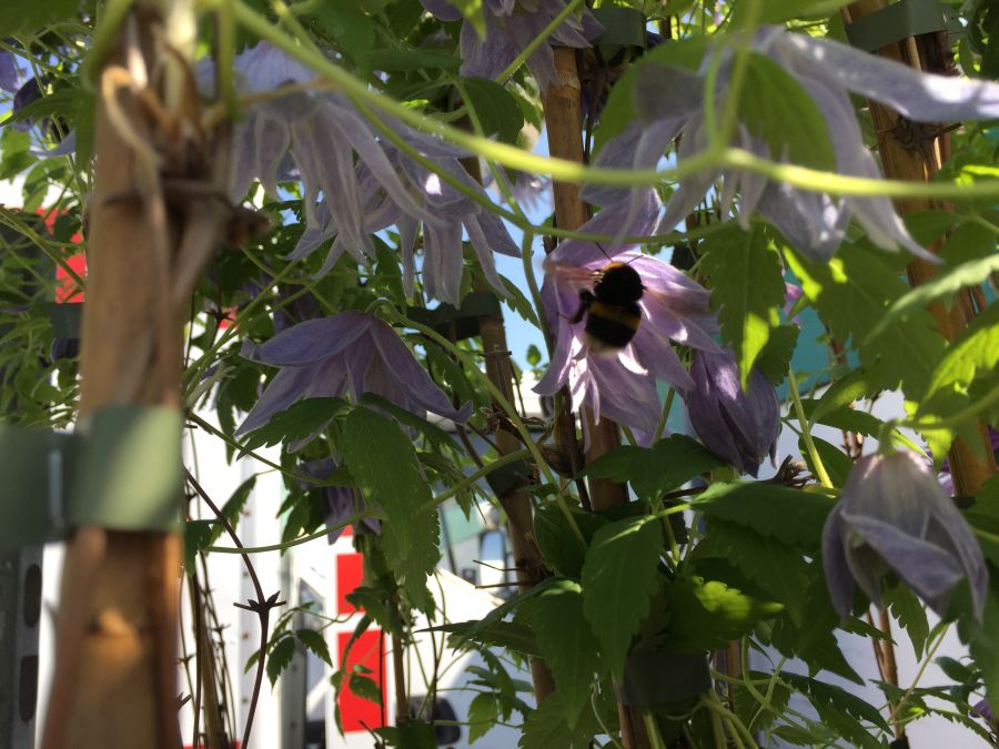 bees in clematis 5