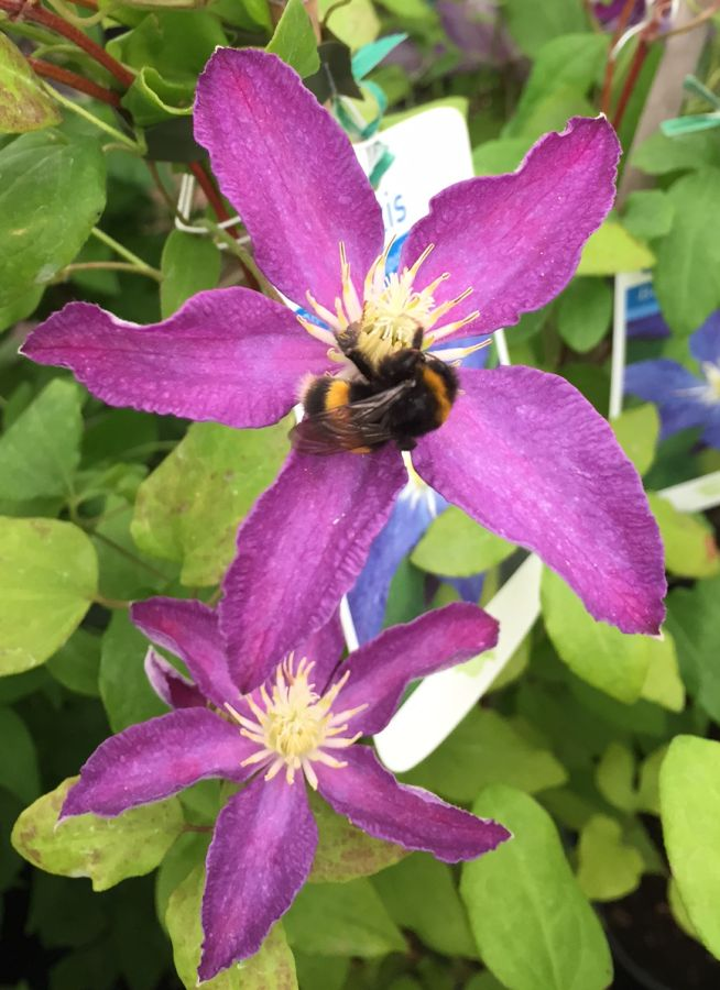 bees in clematis 7