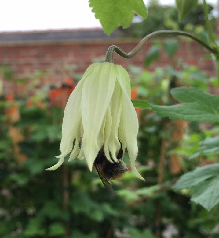 Even the bees love the clematis amber flower