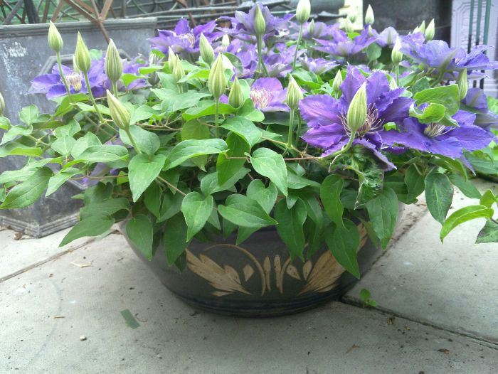 Clematis bijou in ceramic pot