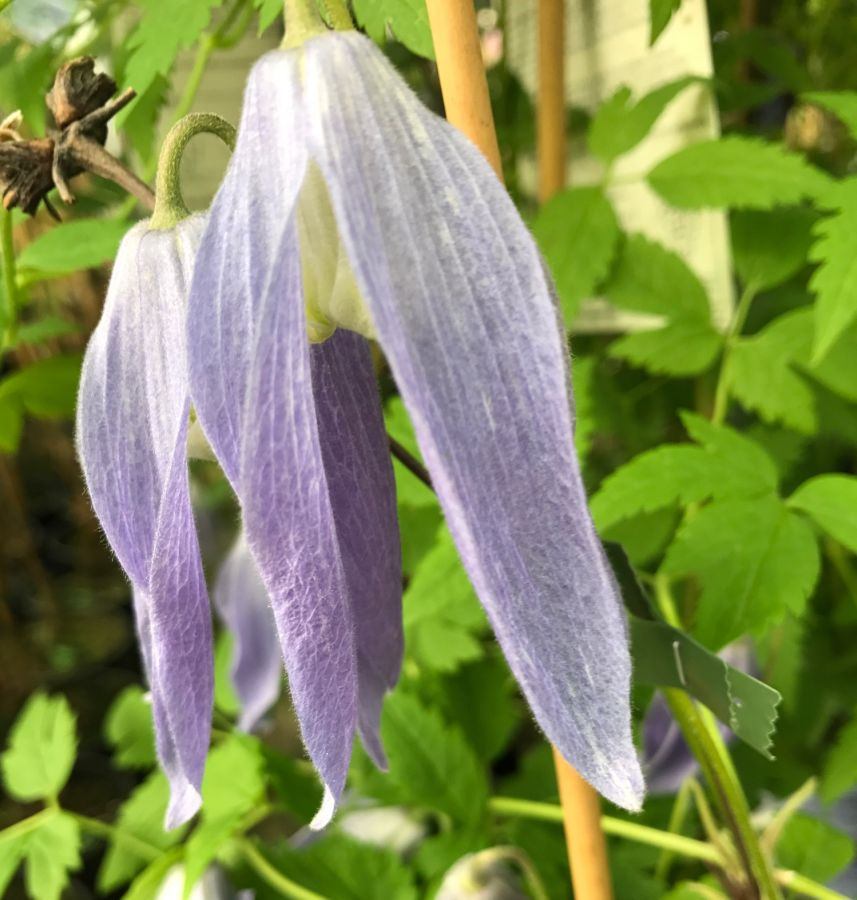 clematis alpina Blue Dancer nice pair