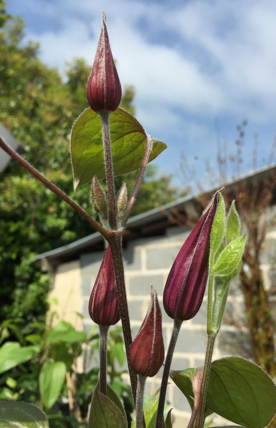 Clematis Blue Pirouette in bud