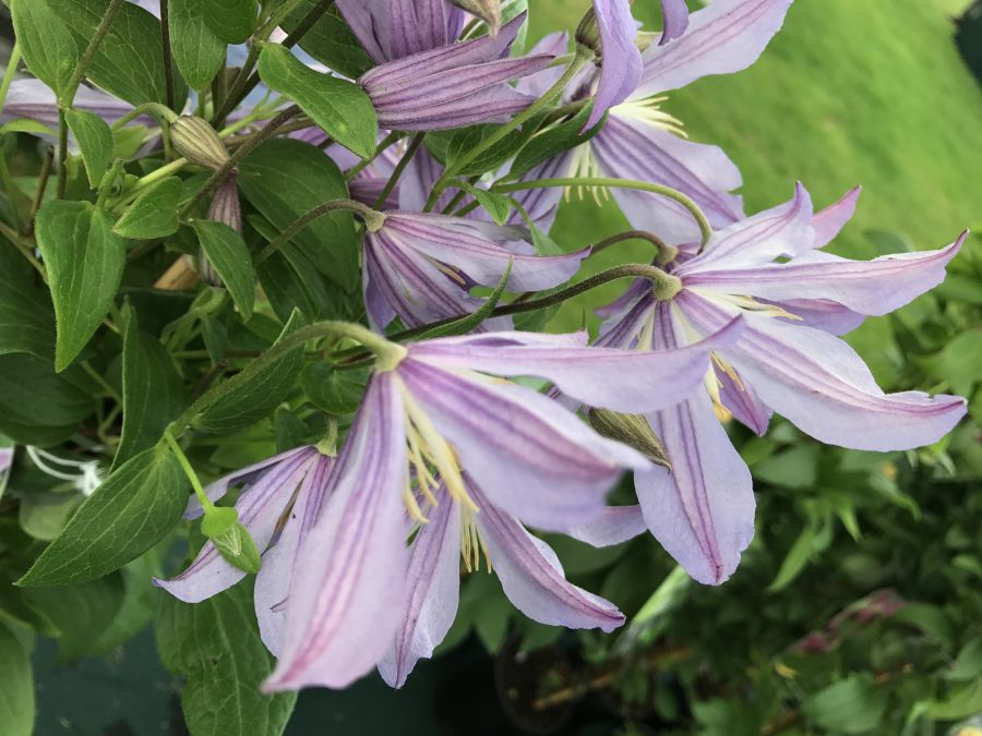 Clematis Blue River backs of the flowers