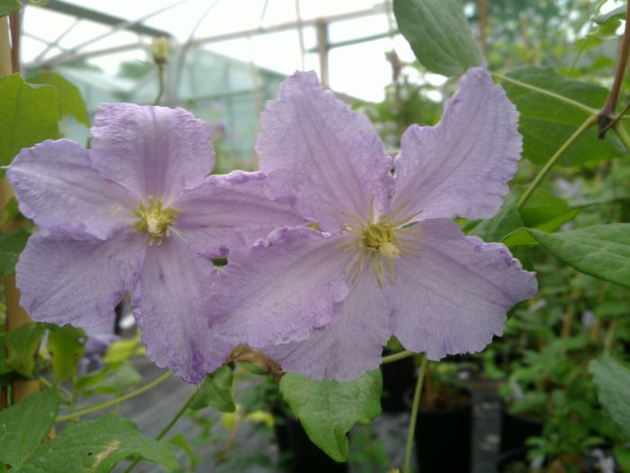 Clematis Blue Angel pair