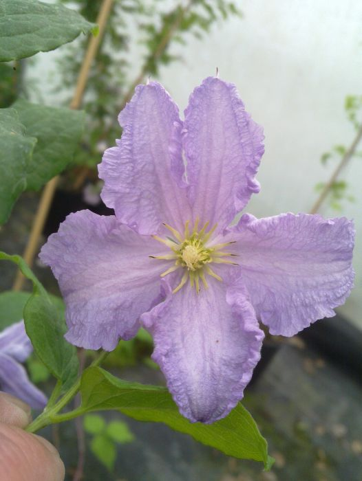 Clematis Blue Angel just opening