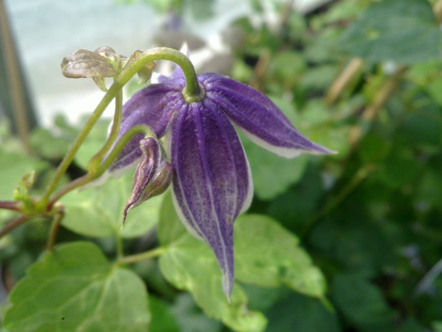 Clematis koreana blue eclipse from above