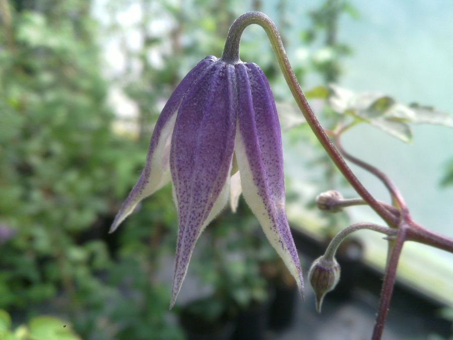 Clematis koreana blue eclipse soft tones