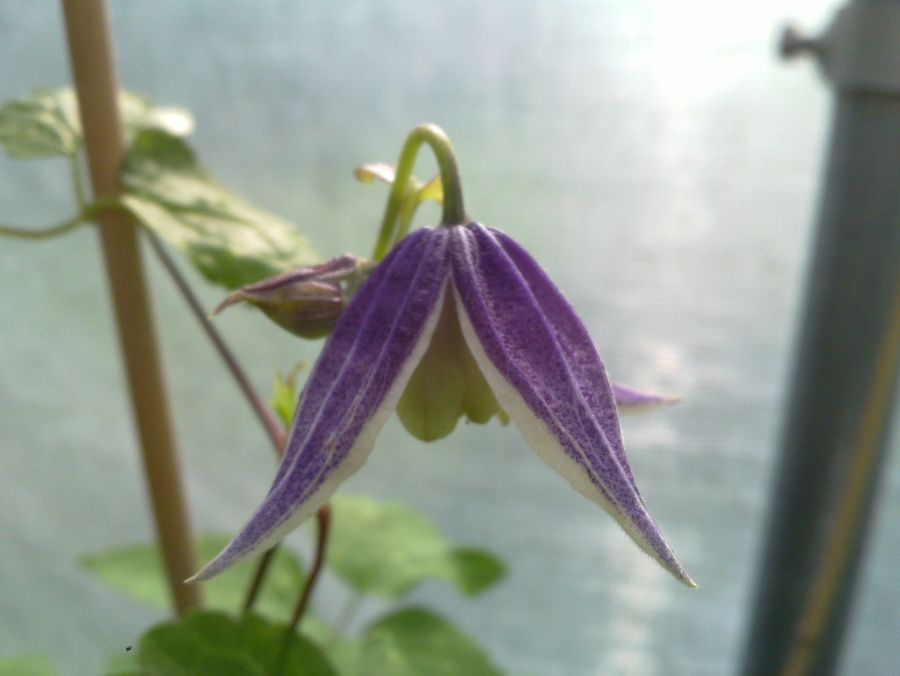 Clematis koreana blue eclipse always nodding