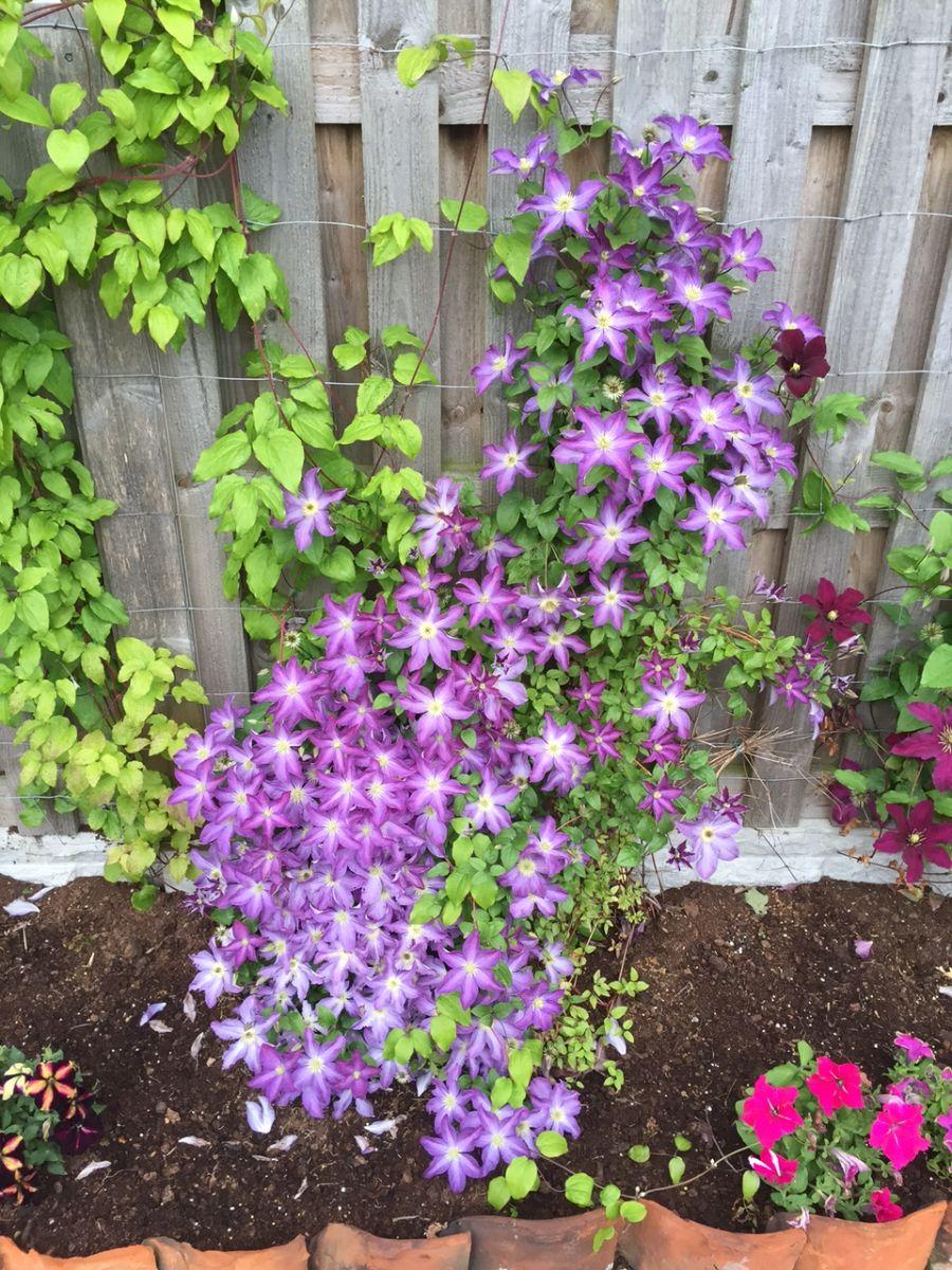 Clematis Bonanza growing in our garden