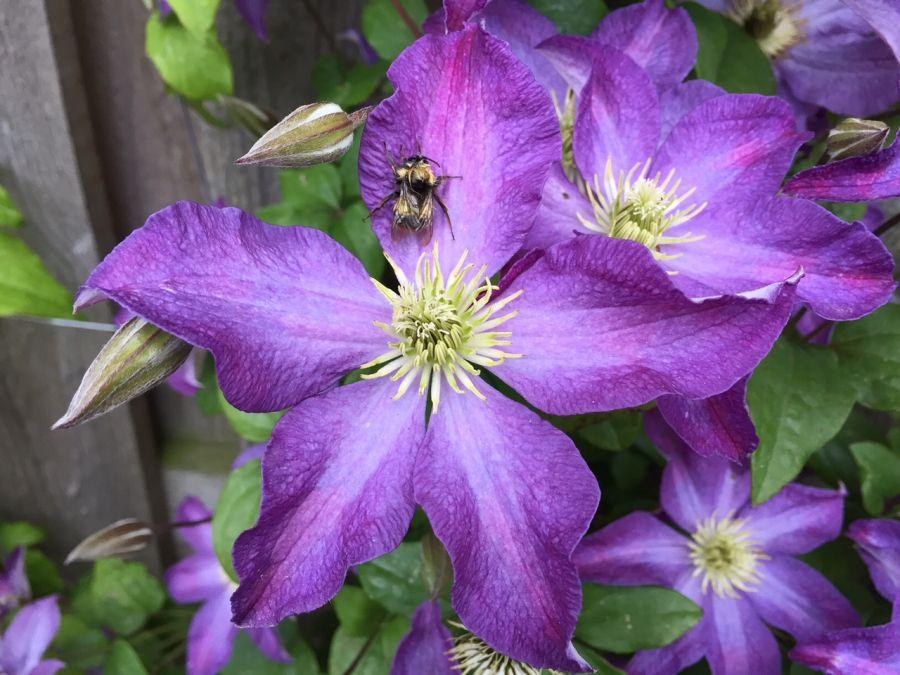 Clematis Bonanza single fully open flower
