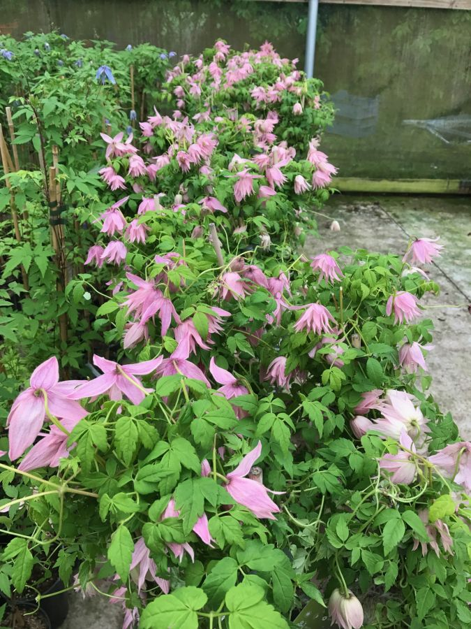 Clematis Country Rose rowed up in our tunnel
