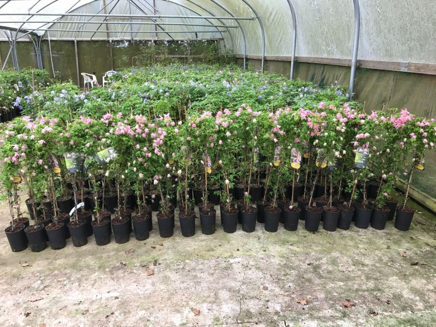 Clematis Country Rose sales plants ready to go !