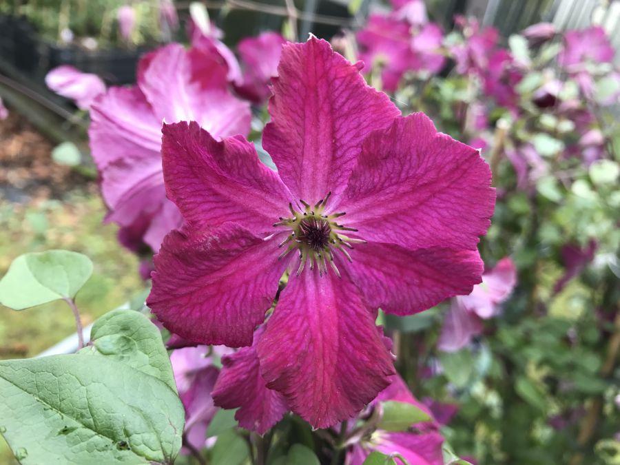 clematis viticella Carmencita single bloom