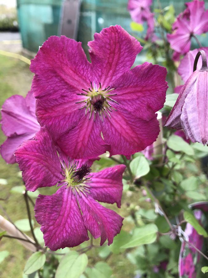 clematis viticella Carmencita ferwee flowering