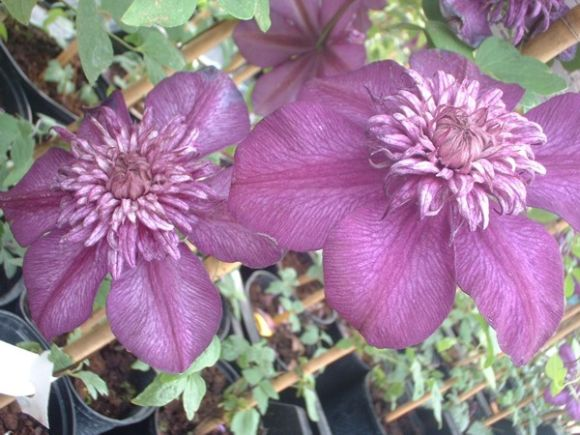 Clematis Cassis pair of blooms