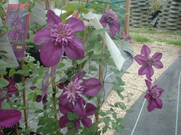 Clematis Cassis group shot