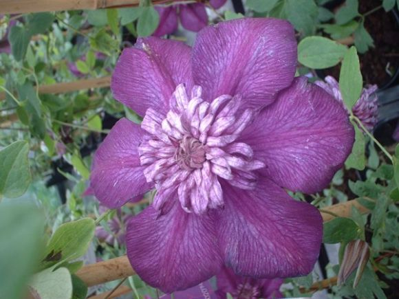 Clematis Cassis close up