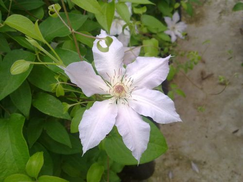 Clematis Congratulations single