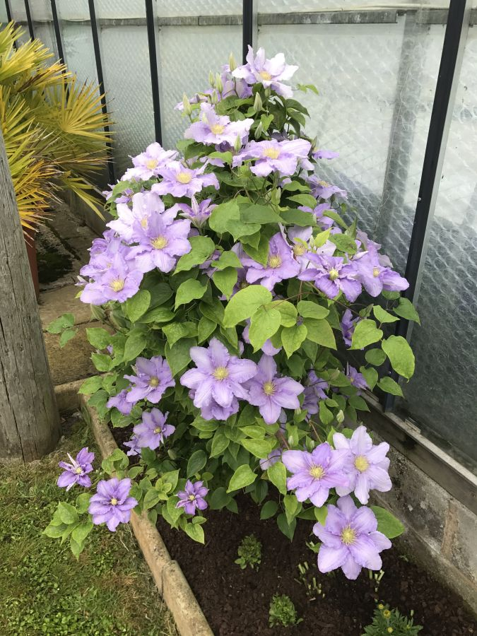 Clematis Cezanne here in our garden 1