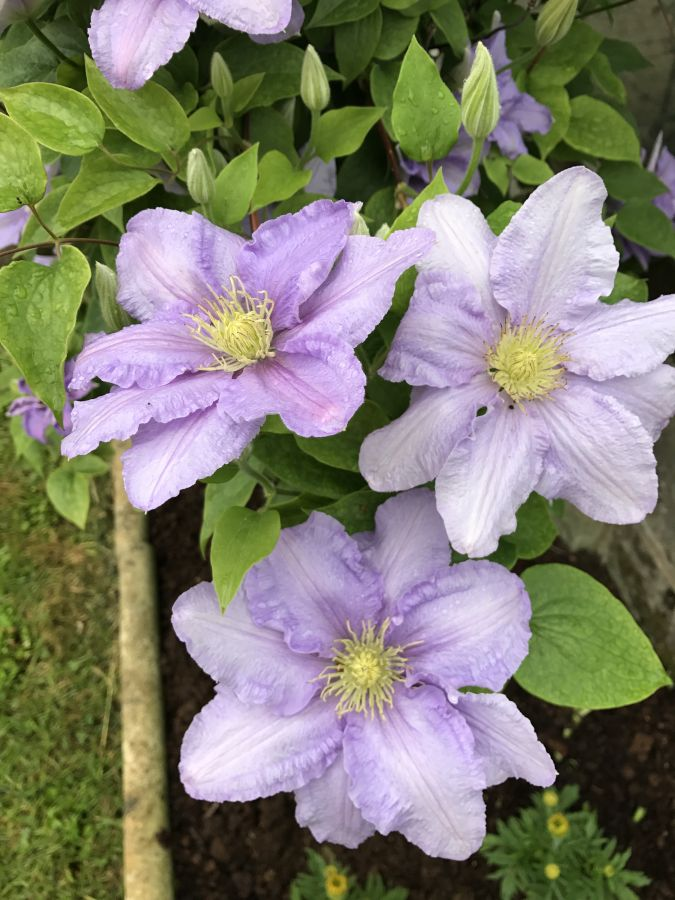 Clematis Cezanne here in our garden 4