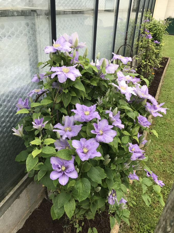 Clematis Cezanne here in our garden 5