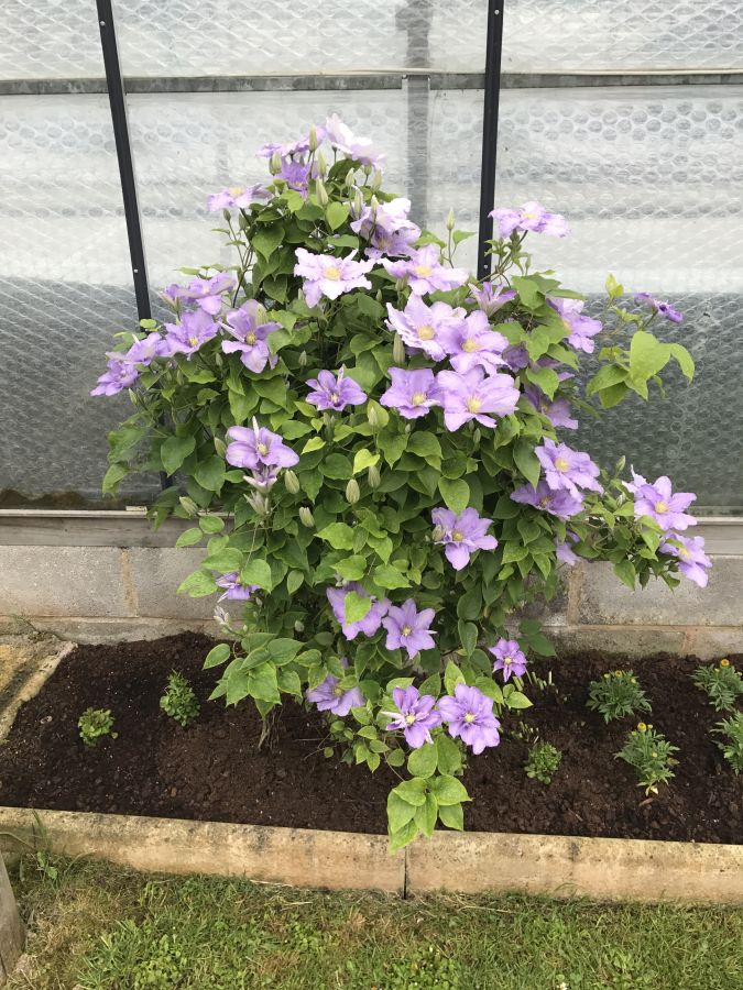 Clematis Cezanne here in our garden 6